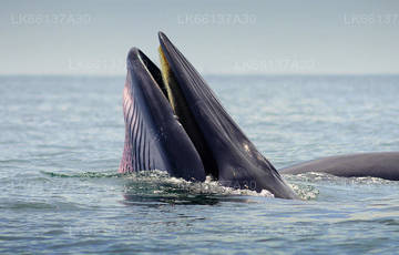 Whale Watching from Talpe
