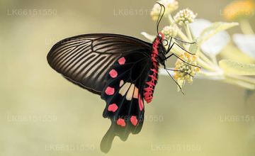 Butterfly Watching from Matale