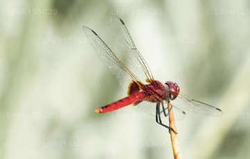 Dragonfly Watching from Sinharaja